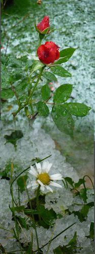 fleurs & neige [Desktop Resolution]