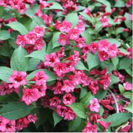 weigelia--bristol-ruby--carre.jpg