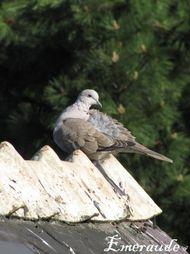 Photo Oiseaux, tourterelle turque - 22.05.11 - 01