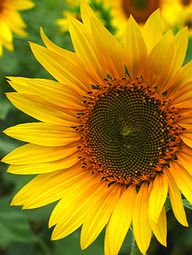 sunflower (1)