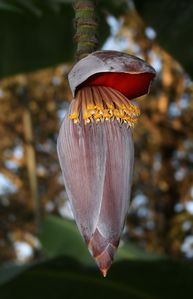 Banana flower edit2