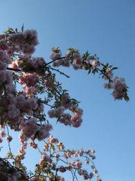 cerisier3.JPG