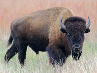wyomingBison ownby380