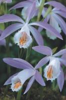 orchidée pleione formosanum