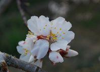 Fleur d'amandier12