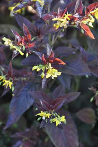 Lysimachia-firecracker-fleurs.JPG