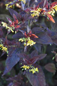 Lysimachia-firecracker-fleurs.JPG
