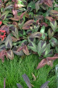 Persicaria Red dragon + Isolepis setaceus
