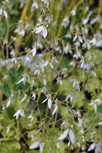 Saxifraga stolonifera fleur