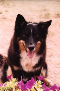 border collie (famille)