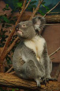 koala (zoo de Beauval)