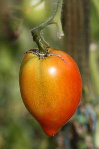Tomates-d-automne--3-.JPG