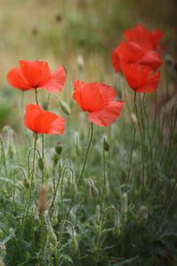 Coquelicots-20.O9.jpg
