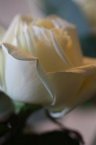 Roses-blanches-7--44-.JPG