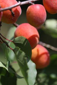 Abricot-12--8-.jpg