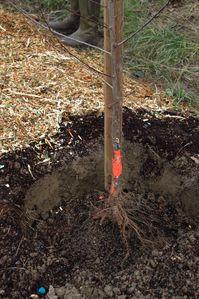 Malus, plantation racines nues, Montesquieu (47) Conservato