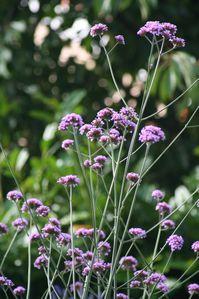 Verbena bonariensis, Audenge (33) Lucasson 26920 redimensio