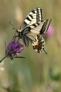 machaon4462