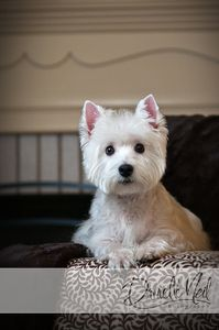 west_highland_white_terrier_portraits.jpg