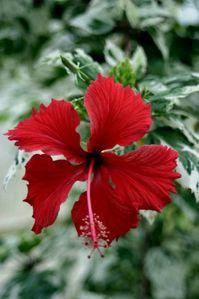 Hibiscus-Tom-Curtis.jpg