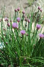 Chives-pink.jpg