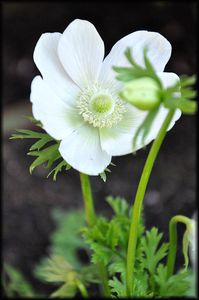 Anemone-blanches-3a.jpg