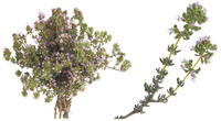 serpolet---bouquet-et-branches.png