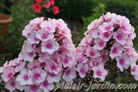 Phlox paniculata 'bright eyes' 2