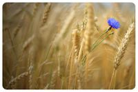 ___Field_of_gold____by_Katosu.jpg