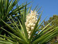 Yucca elephantipes flower