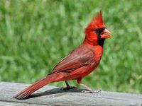Northern Cardinal male RWD2