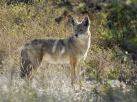 dakota south coyote all