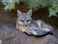 delaware common grey fox all2