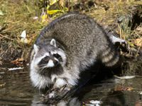 tennessee raccoon stream all