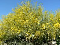 ARIZONA-Cercidium floridum whole