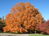 WISCONSIN acer-saccharum-form1-120