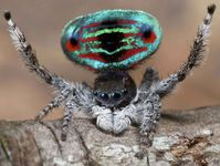 peacock spider maratus species a peckhamania photo Jürgen