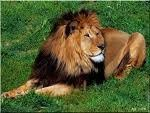 Lion-copie-1