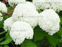 hortensia-blanc