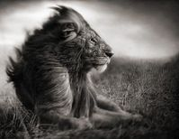 lion-noir-et-blanc
