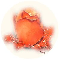 Cration de Tony...Pome .Rose perle .Copyright