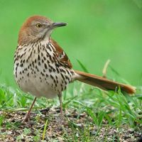 male_brown_thrasher.jpg