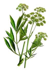 liveche---branches--fleurs-et-feuilles.png