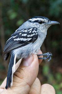 oiseau-amazonie-2.jpg