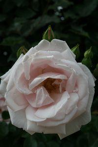 RosesPluie4.JPG