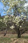 poirier-en-fleurs_small.jpg