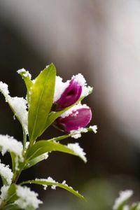 fleur-neige.jpg