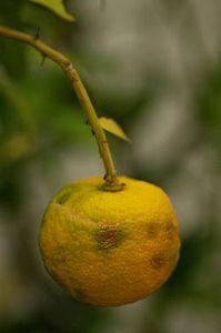 250px-Yuzufruit.jpg