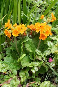 primevère des jardins, Primula de type Elatior 5465 redimensionner