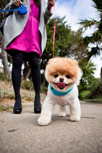 boo-little-fluffy-pomeranian-dog